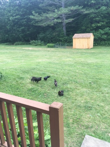 Chickens at the house