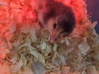 first chick fluffy2