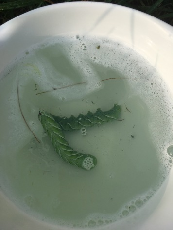 2 hornworms in water