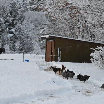snowy chickens